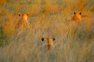 Lion Hunt 3 Jpg
